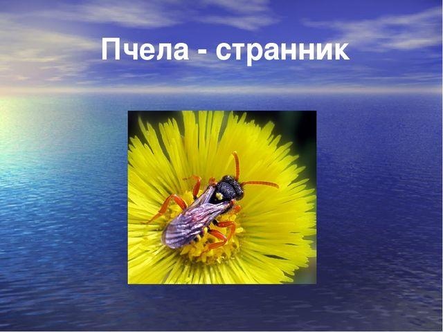 Пчела - странник