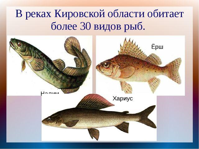 В реках Кировской области обитает более 30 видов рыб. Налим Ёрш Хариус