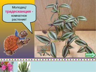 Молодец! традесканция - комнатное растение! дальше