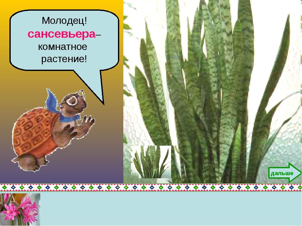 Молодец! сансевьера– комнатное растение! дальше