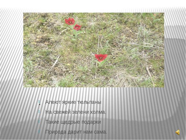 . Алеют яркие тюльпаны На свежей зелени холма. Такие щедрые подарки Природа д...