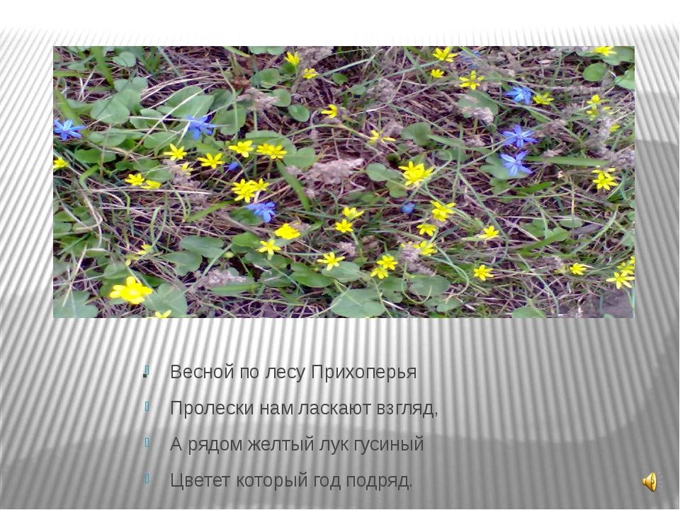 . Весной по лесу Прихоперья Пролески нам ласкают взгляд, А рядом желтый лук г...