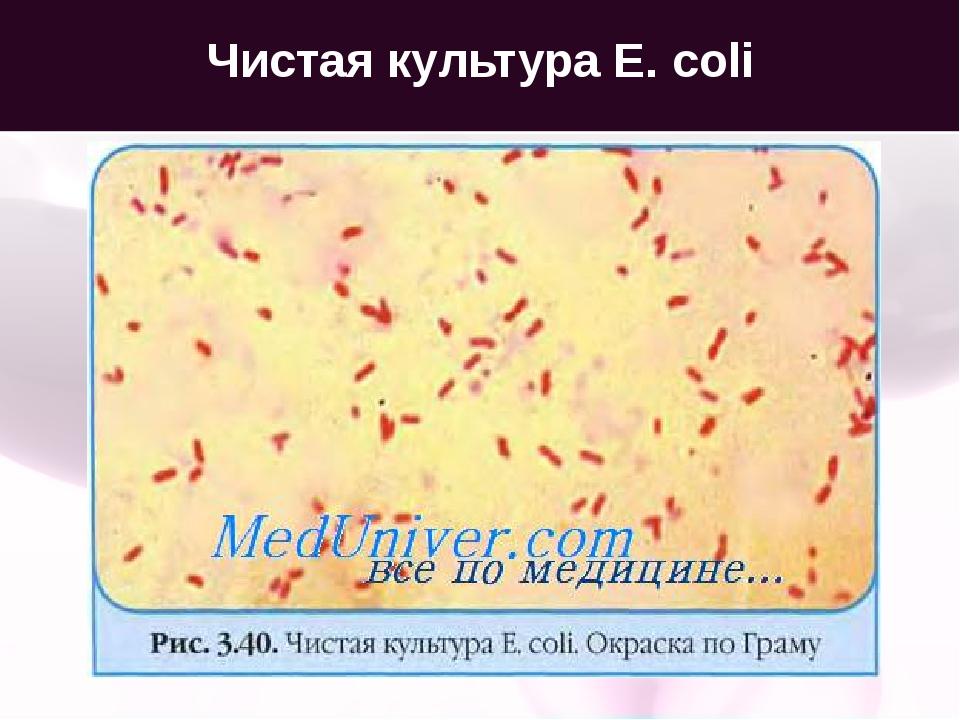 Чистая культура E. coli