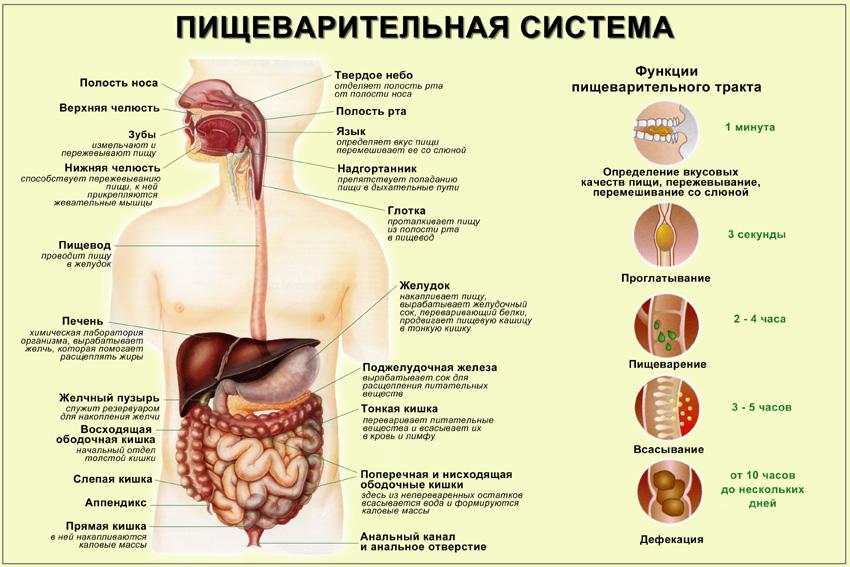Пищеварительная система печень желчный пузырь поджелудочная железа Бесплатный анализ на гепатит и с