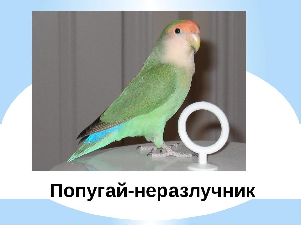 Попугай-неразлучник