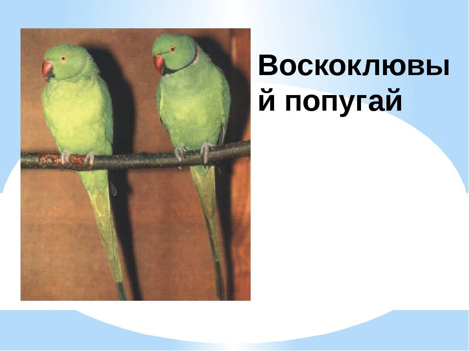 Воскоклювый попугай