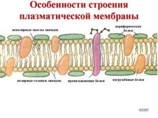 Состав Плазматической мембраны П. М. – организует клетку снаружи и обусловлив