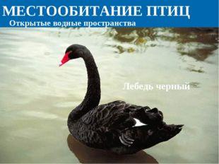 МЕСТООБИТАНИЕ ПТИЦ Лебедь черный Открытые водные пространства