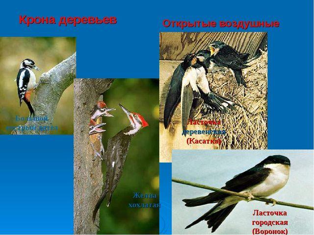 Крона деревьев Открытые воздушные пространства Большой пестрый дятел Желна хо...