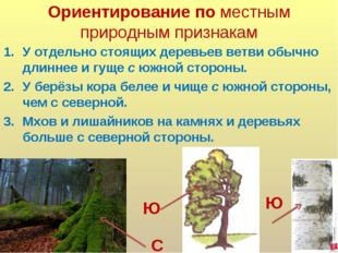 Ориентирование по местным природным признакам У отдельно стоящих деревьев вет