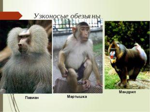 Узконосые обезьяны Павиан Мартышка Мандрил