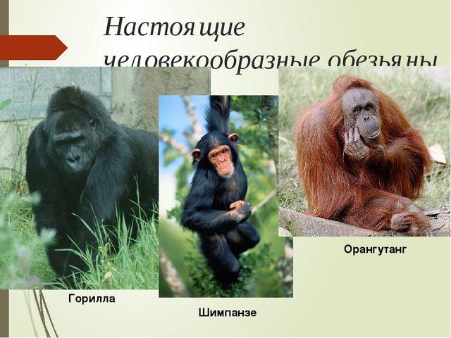 Настоящие человекообразные обезьяны Горилла Шимпанзе Орангутанг