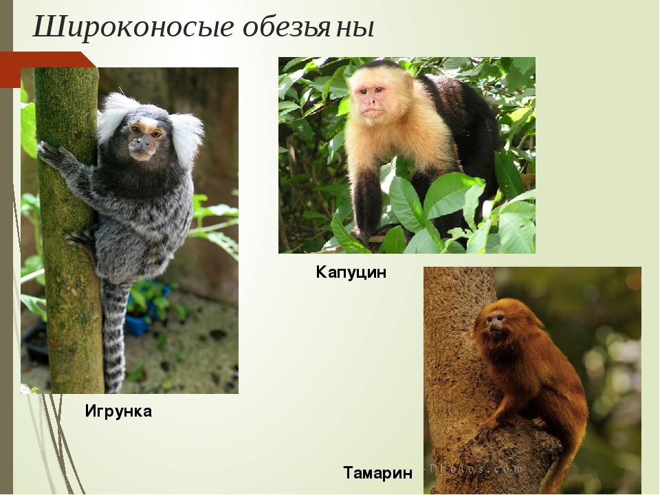 Широконосые обезьяны Игрунка Капуцин Тамарин