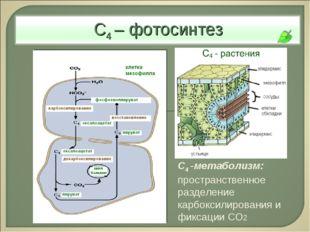 С4 -метаболизм: пространственное разделение карбоксилирования и фиксации СО2