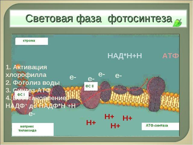 е- е- е- Н+ е- е- Н+ Н+ Н+ НАД*Н+Н АТФ 1. Активация хлорофилла 2. Фотолиз вод...