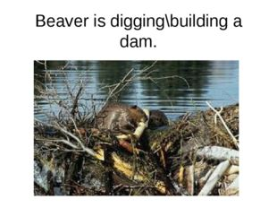 Beaver is digging\building a dam.