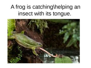 A frog is catching\helping an insect with its tongue.