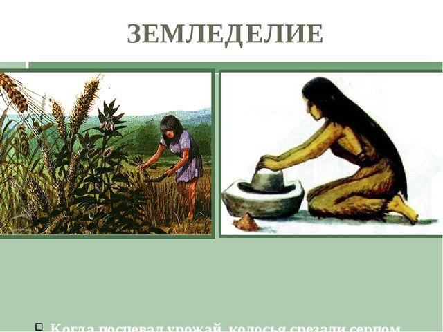 Когда поспевал урожай, колосья срезали серпом. Растирая зерна на плоских кам...
