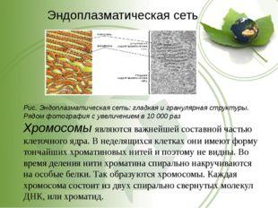 Эндоплазматическая сеть Рис. Эндоплазматическая сеть: гладкая и гранулярная с