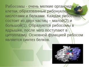 Рибосомы - очень мелкие органоиды клетки, образованные рибонуклеиновыми кисло