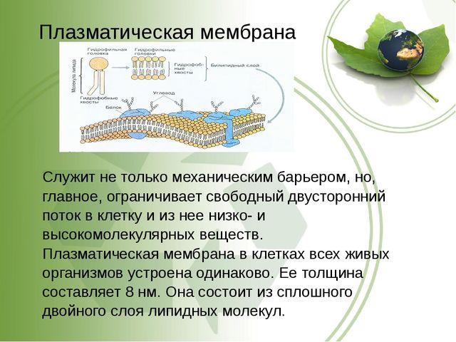 Плазматическая мембрана Служит не только механическим барьером, но, главное,...