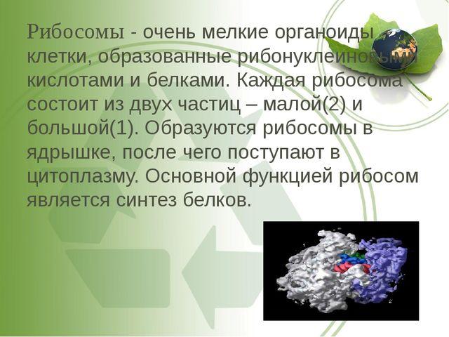 Рибосомы - очень мелкие органоиды клетки, образованные рибонуклеиновыми кисло...