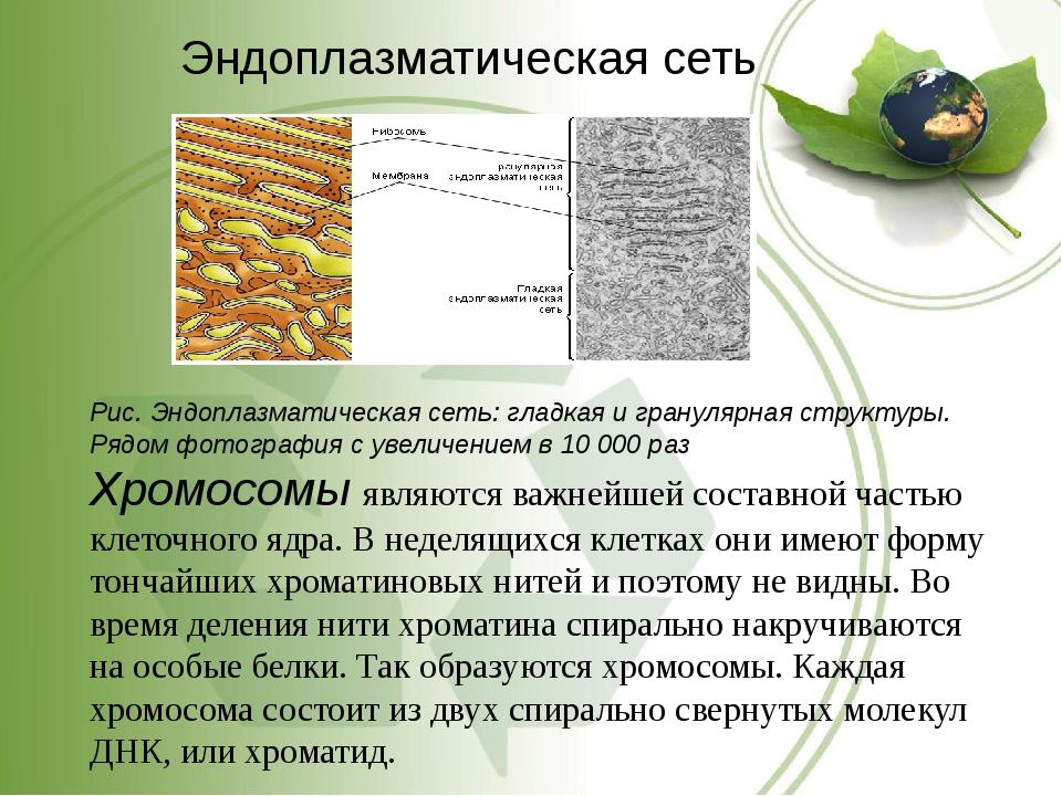Эндоплазматическая сеть Рис. Эндоплазматическая сеть: гладкая и гранулярная с...