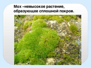 Мох –невысокое растение, образующее сплошной покров.