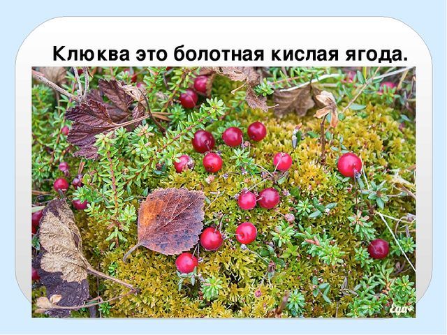 Клюква это болотная кислая ягода.