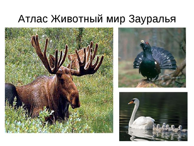 Атлас Животный мир Зауралья