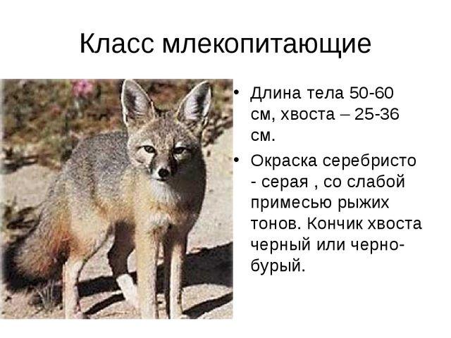 Класс млекопитающие Длина тела 50-60 см, хвоста – 25-36 см. Окраска серебрист...