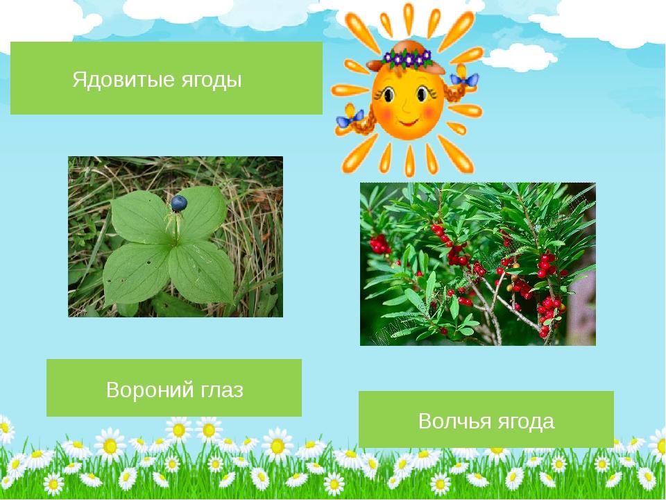 Волчья ягода Вороний глаз Ядовитые ягоды