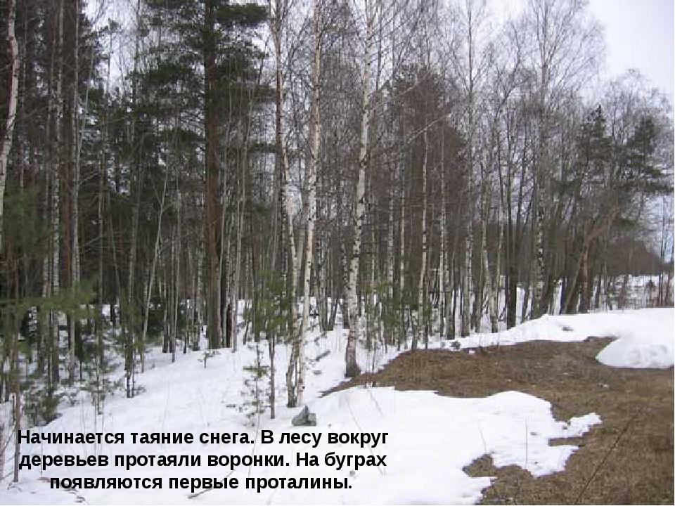 Начинается таяние снега. В лесу вокруг деревьев протаяли воронки. На буграх п...