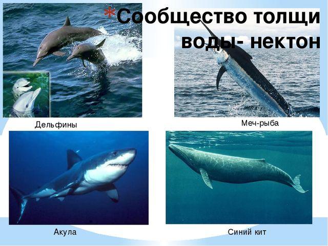 Сообщество толщи воды- нектон Дельфины Синий кит Меч-рыба Акула