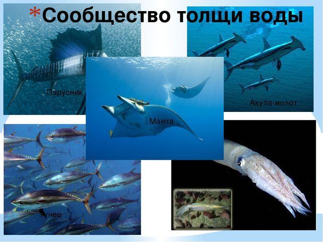 Сообщество толщи воды Акула-молот Кальмар Тунец Парусник Манта