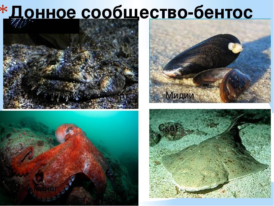 Донное сообщество-бентос Скат Осьминог Мидии Удильщик- Морской черт