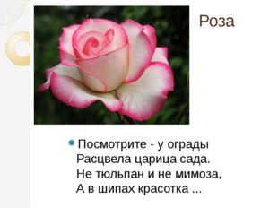 Роза Посмотрите - у ограды Расцвела царица сада. Не тюльпан и не мимоза, А в