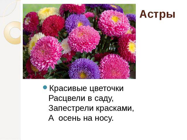 Астры Красивые цветочки Расцвели в саду, Запестрели красками, А осень на н...