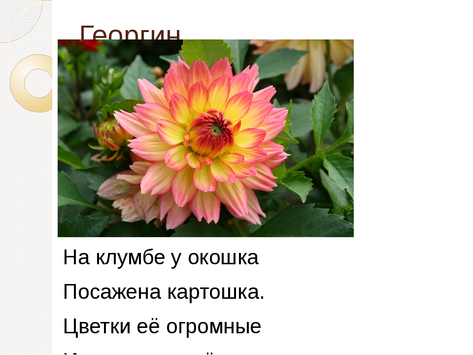 Георгин На клумбе у окошка Посажена картошка. Цветки её огромные И светлые...