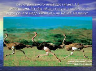 Вес страусиного яйца достигает 1,5 килограмма. Чтобы яйцо страуса сварилось