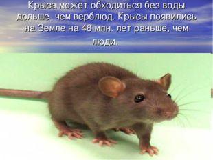 Крыса может обходиться без воды дольше, чем верблюд. Крысы появились на Земле