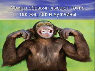 Самцы обезьян лысеют точно так же, как и мужчины