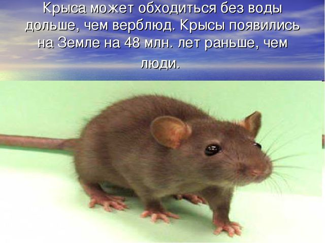 Крыса может обходиться без воды дольше, чем верблюд. Крысы появились на Земле...