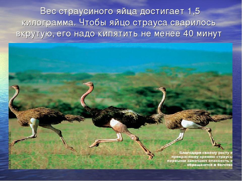 Вес страусиного яйца достигает 1,5 килограмма. Чтобы яйцо страуса сварилось...