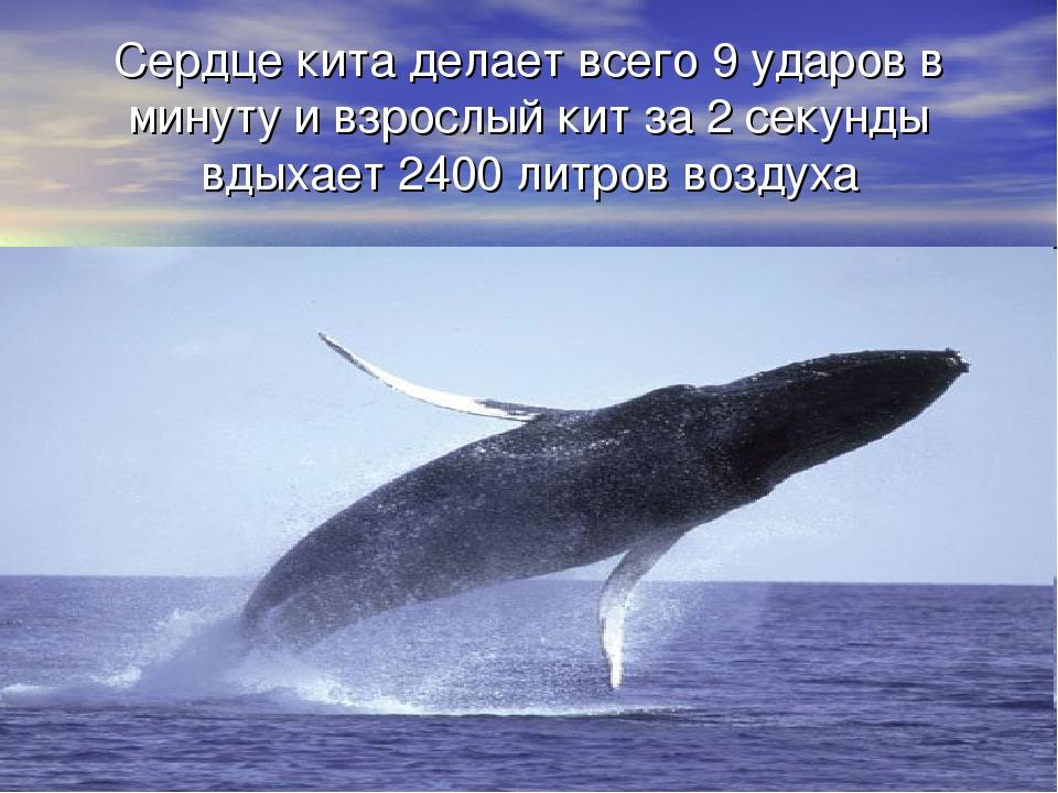 Сердце кита делает всего 9 ударов в минуту и взрослый кит за 2 секунды вдыхае...