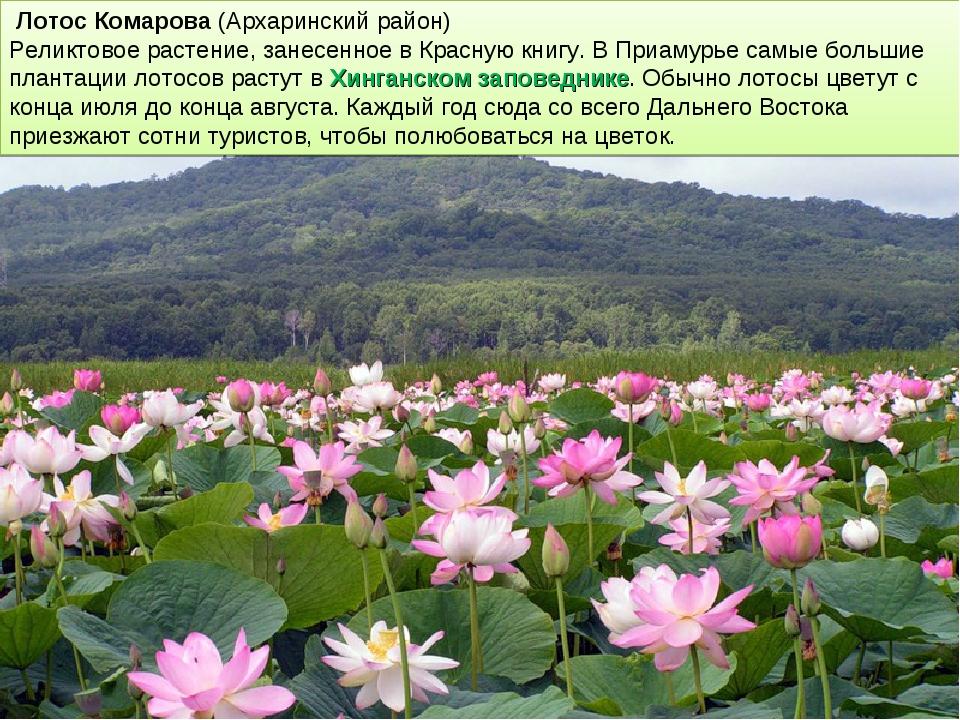 Лотос Комарова (Архаринский район) Реликтовое растение, занесенное в Красную...