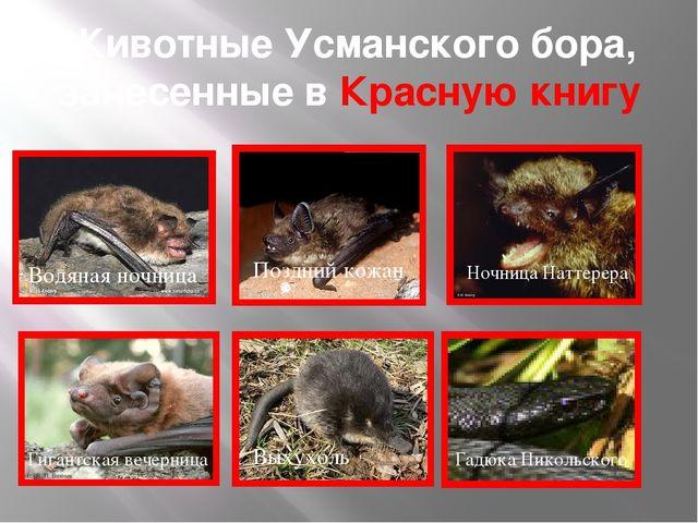 Животные Усманского бора, занесенные в Красную книгу Водяная ночница Ночница...