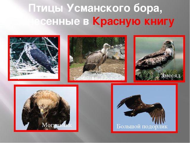 Птицы Усманского бора, занесенные в Красную книгу Европейский тювик Белоголов...