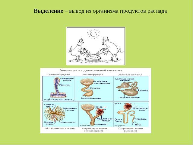 Выделение – вывод из организма продуктов распада