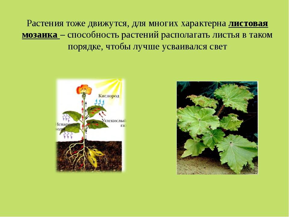 Растения тоже движутся, для многих характерна листовая мозаика – способность...